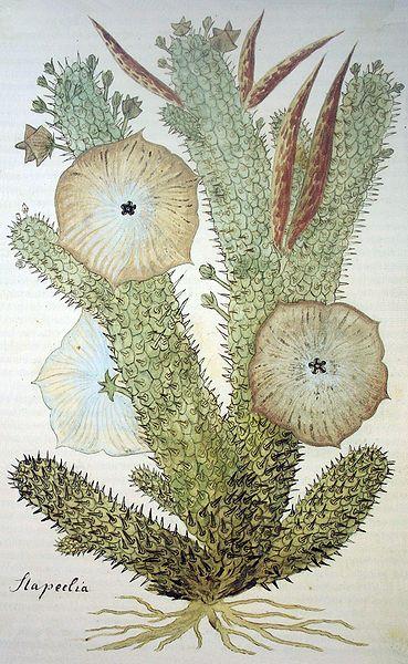 """这种植物名叫""""蝴蝶亚仙人掌"""""""